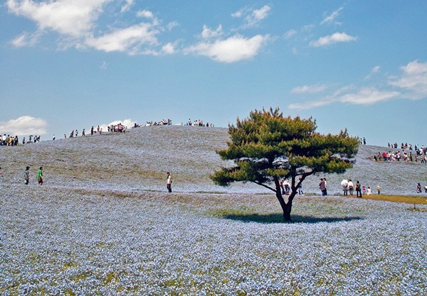 hitachi-seaside-park-japan-24-photos- (21)