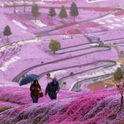 Flower Paradise Hitachi Seaside Park Japan (24 Photos)