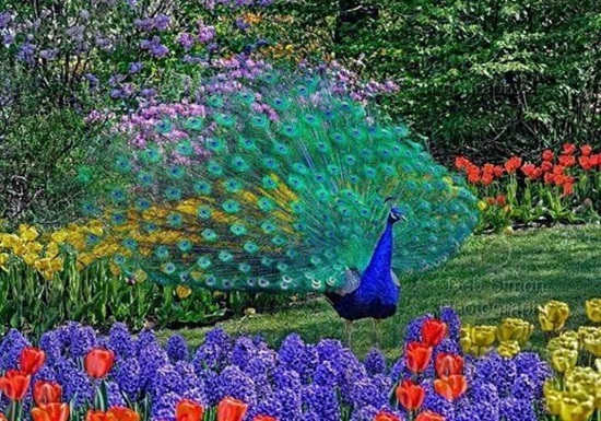 peacock-photos- (10)