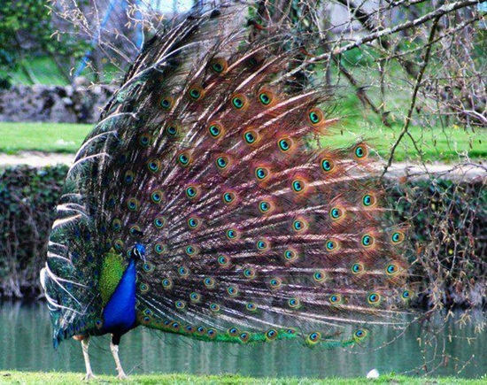 peacock-photos- (14)
