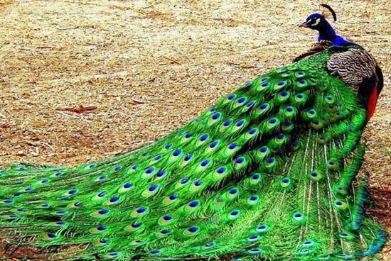 peacock-photos- (2)