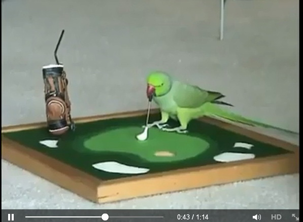 talented-parrot-video-