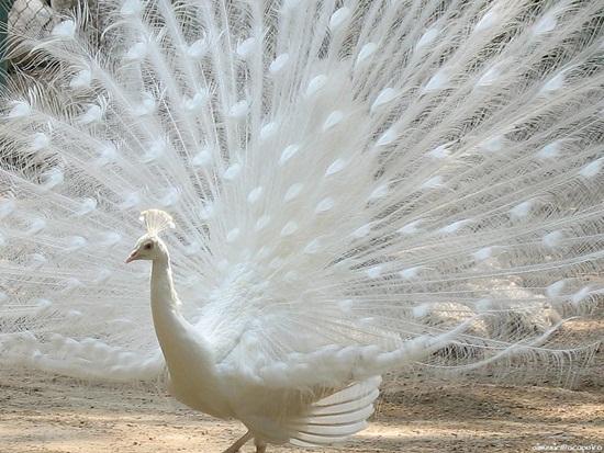 white-peacock- (2)