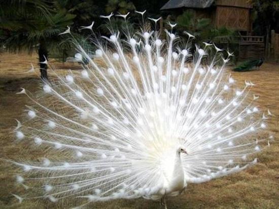 white-peacock- (7)