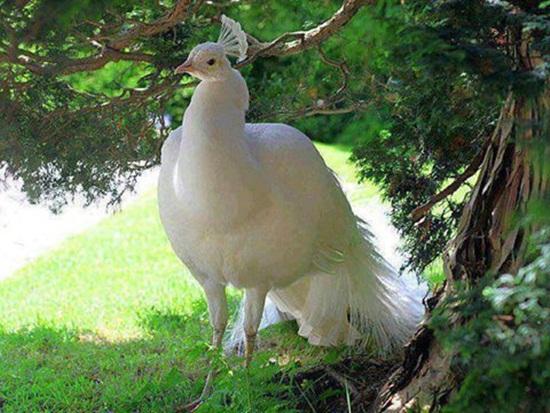 white-peacock- (9)