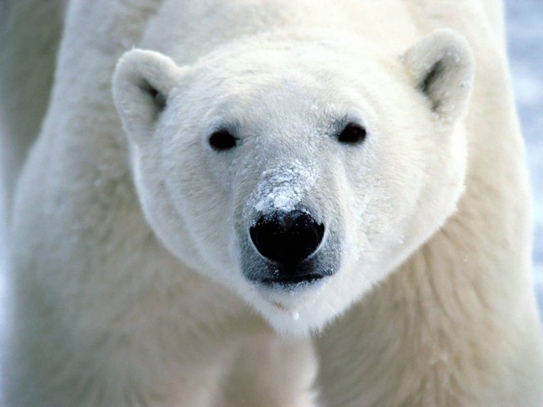 polar-bear-photos- (10)