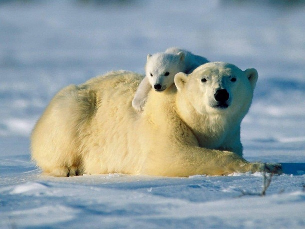 polar-bear-photos- (11)