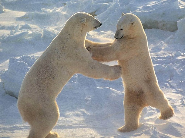 polar-bear-photos- (13)