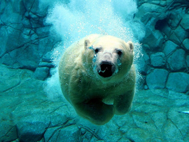 polar-bear-photos- (14)
