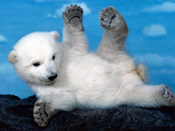 polar-bear-photos- (15)