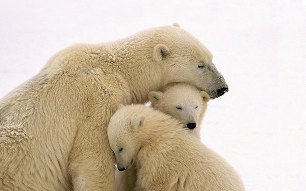 polar-bear-photos- (16)