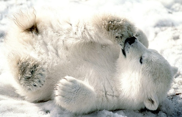 polar-bear-photos- (17)