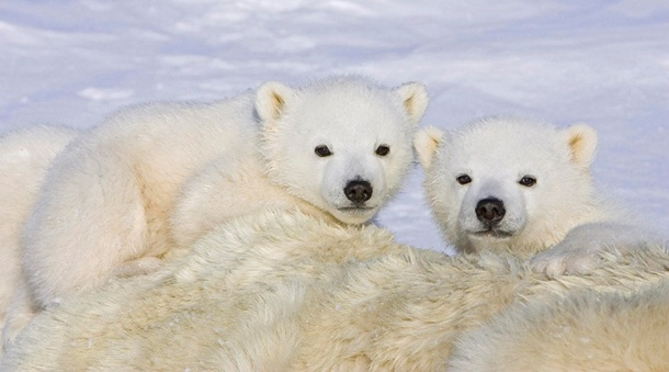 polar-bear-photos- (18)
