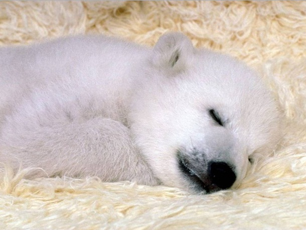 polar-bear-photos- (23)