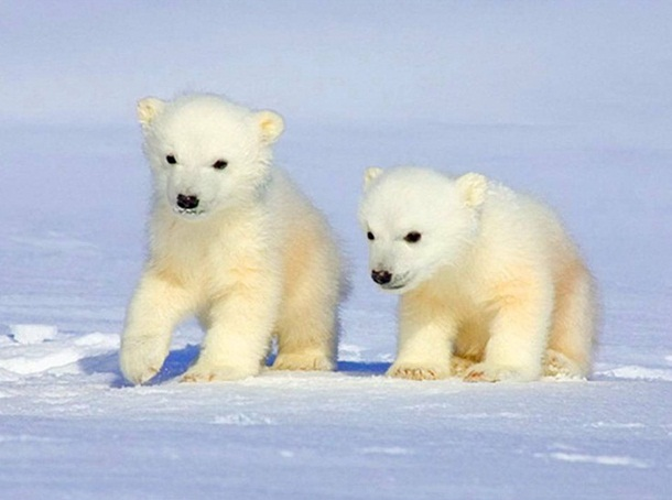 polar-bear-photos- (24)