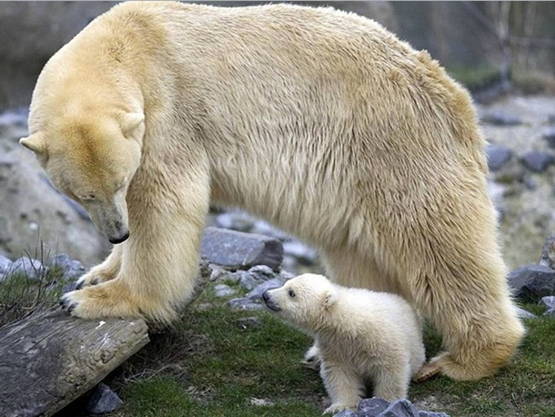 polar-bear-photos- (26)