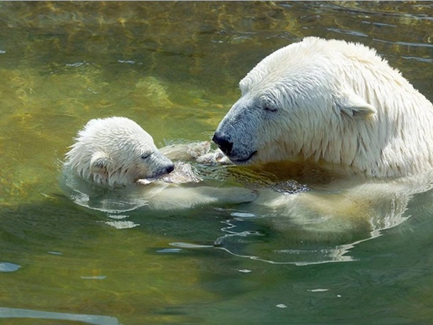 polar-bear-photos- (27)