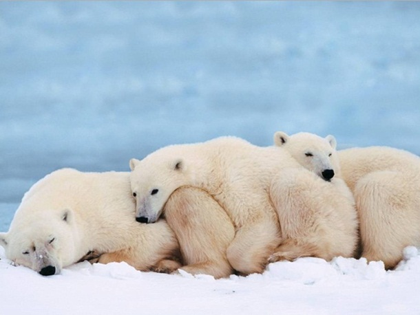 polar-bear-photos- (3)