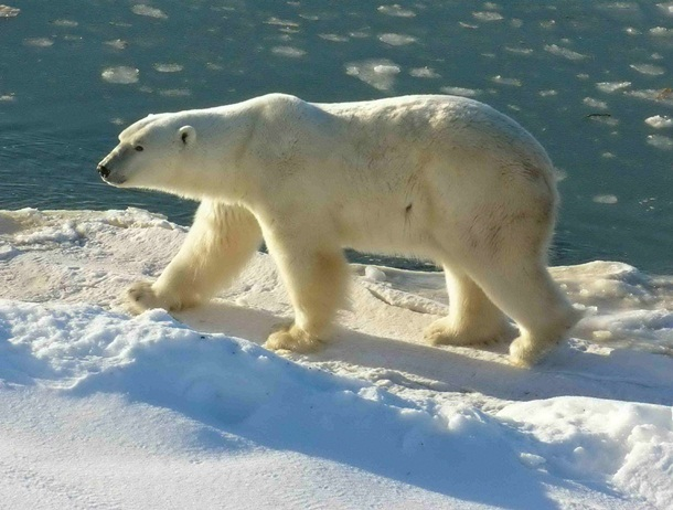 polar-bear-photos- (7)