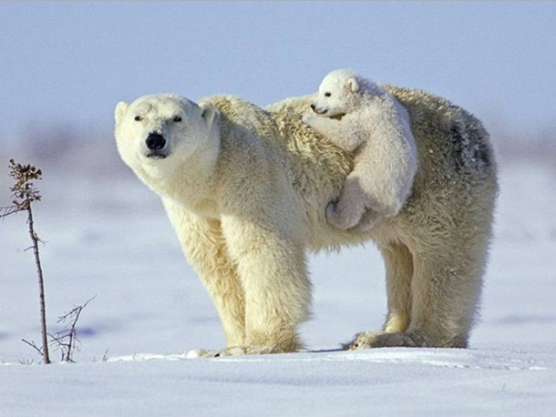 polar-bear-photos- (8)