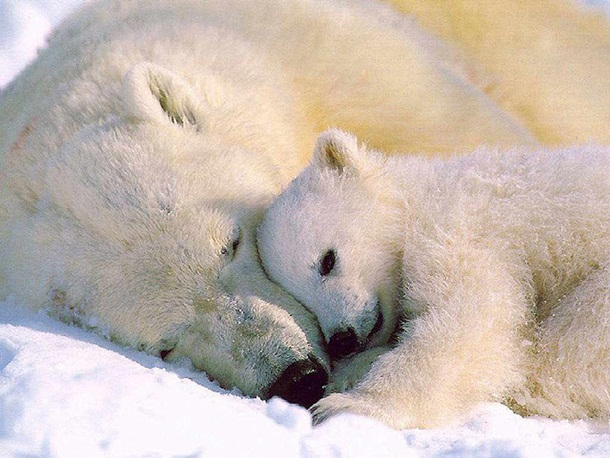 polar-bear-photos- (9)