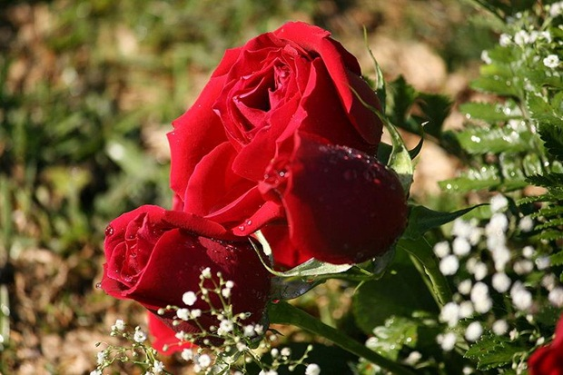 red-rose-flower- (13)