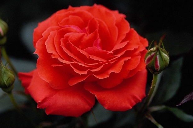 red-rose-flower- (2)