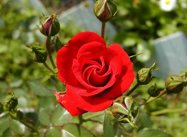 red-rose-flower- (3)