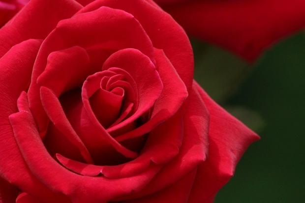 red-rose-flower- (5)