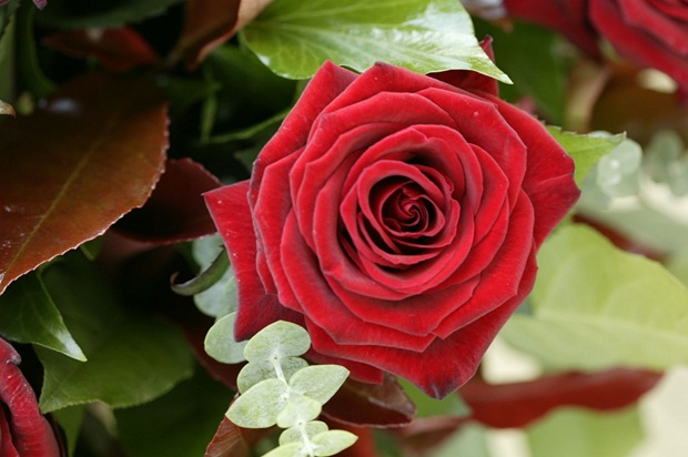red-rose-flower- (9)