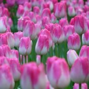 Colorful Tulips From Holland