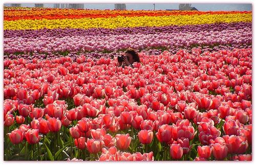 colorful-tulip- (10)