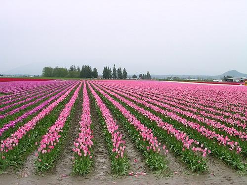 colorful-tulip- (11)