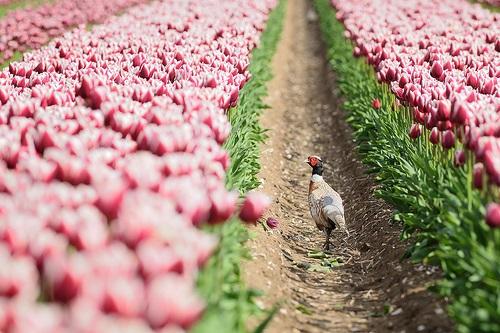 colorful-tulip- (12)