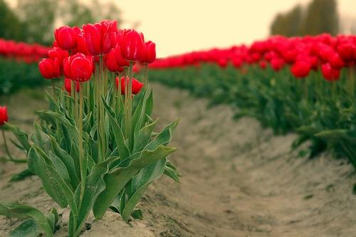 colorful-tulip- (14)
