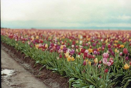 colorful-tulip- (16)
