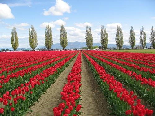 colorful-tulip- (18)