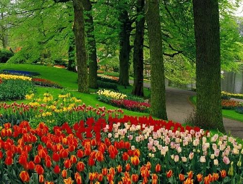 colorful-tulip- (21)