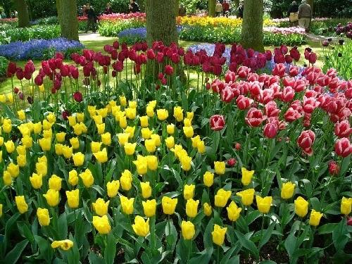 colorful-tulip- (23)