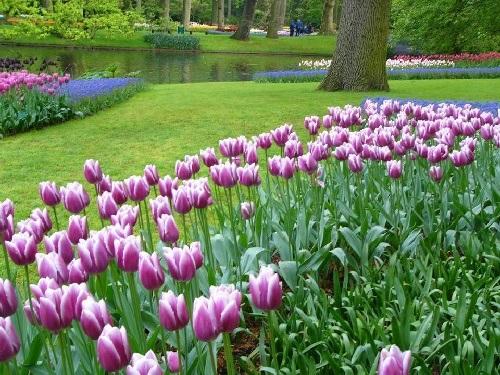 colorful-tulip- (24)