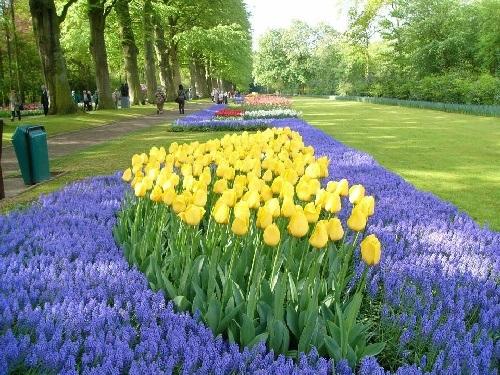 colorful-tulip- (25)