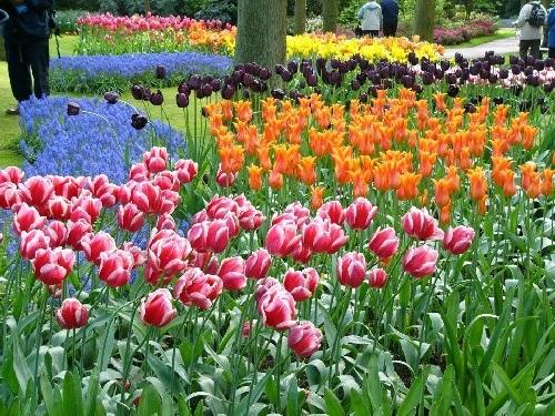 colorful-tulip- (26)
