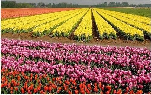 colorful-tulip- (27)
