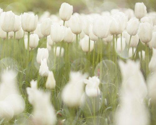 colorful-tulip- (3)