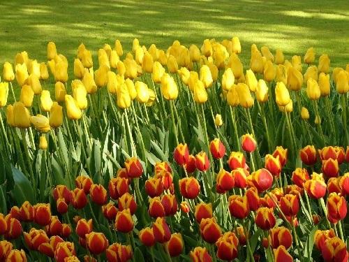 colorful-tulip- (30)