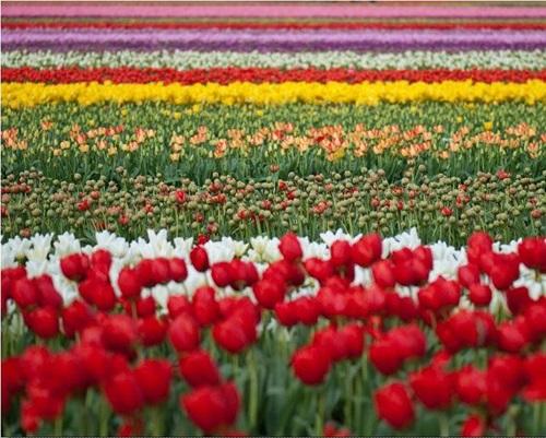 colorful-tulip- (5)