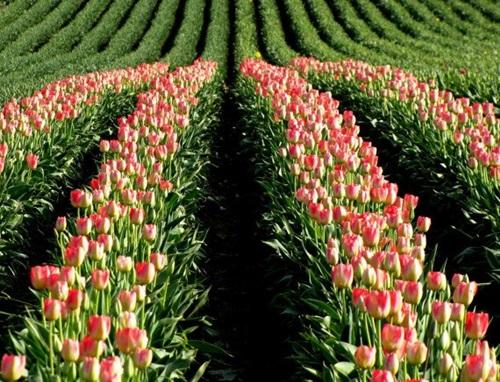 colorful-tulip- (6)