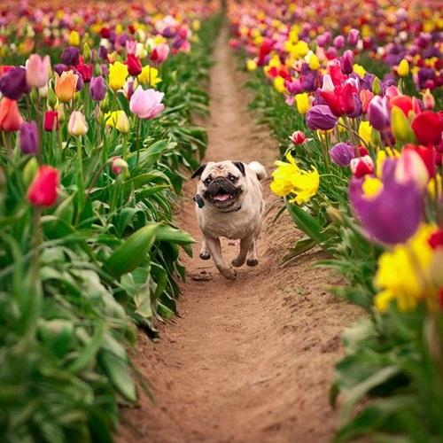 colorful-tulip- (7)