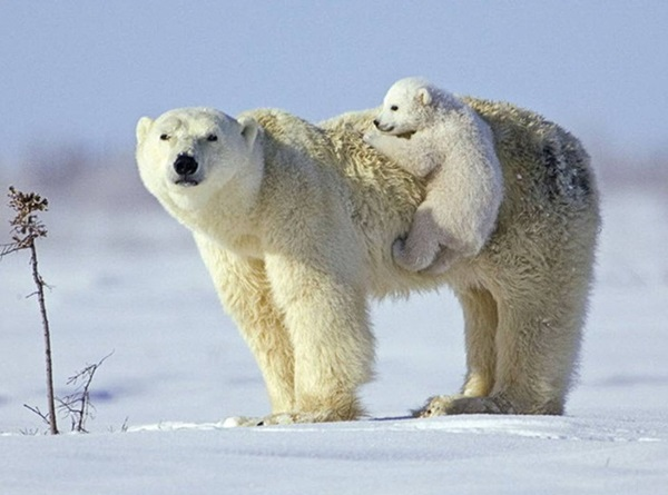 polar-bear-pictures- (10)