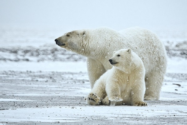polar-bear-pictures- (14)